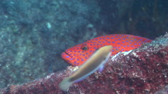 Coral cod hiding, Cephalopholis miniata, HD, UP24719 Stock Footage