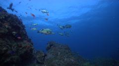 Yellow-spotted sweetlips hovering and schooling on rocky reef, Plectorhinchus Stock Footage