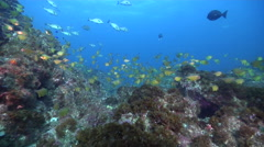 Black-tipped bullseye swimming and schooling on rocky reef, Pempheris affinis, - stock footage