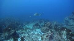 Zebra shark swimming on rocky reef, Stegostoma fasciatum, HD, UP24734 Stock Footage