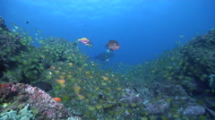 Black-blotched stingray swimming on rocky reef, Taeniura meyeni, HD, UP24736 Stock Footage