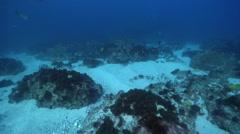Ornate wobbegong shark swimming on rocky reef, Orectolobus ornatus, HD, UP24738 Stock Footage