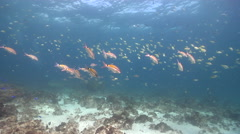Blackspot goatfish hovering and schooling on rocky reef, Parupeneus spilurus, Stock Footage