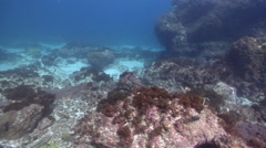 Ornate wobbegong shark swimming on rocky reef, Orectolobus ornatus, HD, UP24752 - stock footage