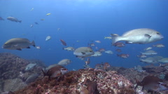 Red morwong swimming and schooling on rocky reef, Cheilodactylus fuscus, HD, Stock Footage