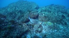 Silver drummer feeding on rocky reef, Kyphosus sydneyanus, HD, UP24771 Stock Footage