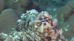 Common reef octopus, Octopus cyanea, HD, UP24778 Stock Footage