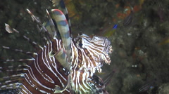 Common lionfish swimming, Pterois volitans, HD, UP24785 Stock Footage