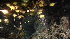 Black-tipped bullseye hunting in cavern, Pempheris affinis, HD, UP24786 Stock Footage
