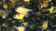 Black-tipped bullseye swimming and schooling in cavern, Pempheris affinis, HD, - stock footage