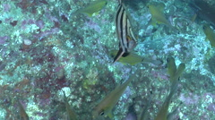 Old wife swimming and schooling, Enoplosus armatus, HD, UP24802 Stock Footage