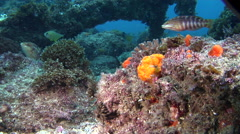 Painted frogfish, Antennarius pictus, HD, UP24813 Stock Footage