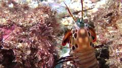 Peacock smasher mantis shrimp looking around, Odontodactylus scyllarus, HD, Stock Footage