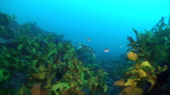 Hawksbill turtle swimming on rocky reef covered in seaweed and kelp, Stock Footage