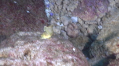 Juvenile Leopard wrasse swimming, Macropharyngodon meleagris, HD, UP24893 Stock Footage
