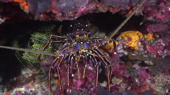 Painted spiny lobster walking at night, Panulirus versicolor, HD, UP24899 Stock Footage