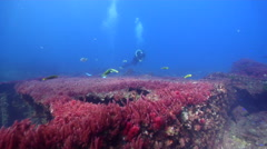 Buddy team of scuba divers swimming on shallow coral reef with Red asparagus Stock Footage