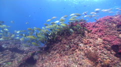 Dusky rabbitfish swimming and schooling on shallow coral reef, Siganus Stock Footage