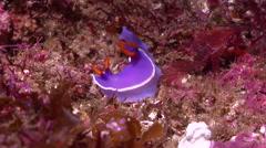 White edge purple slug walking, Hypselodoris bullockii, HD, UP24929 Stock Footage