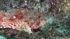 Red scorpionfish, Scorpaena cardinalis, HD, UP24955 Stock Footage