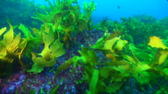 Ocean scenery shot moves across kelp and into archway with some nice fish, on Stock Footage