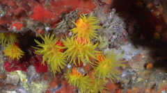 Unidentified common yellow cup corals in cavern, Tubastrea sp., HD, UP24982 - stock footage