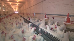 A lot of chickens at the poultry farm Stock Footage