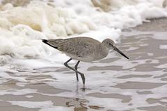 Willet Wandering through the Sea Foam - stock photo