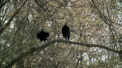 Two large black vultures  perched on tree branch Stock Footage