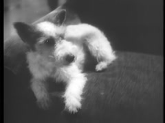Wire haired terrier resting on sofa, 1930s Stock Footage