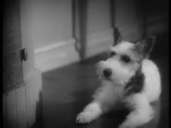 Wire haired terrier on floor lifting his head, 1930s Stock Footage
