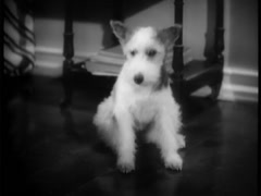 Wire haired terrier lying down on floor at home, 1930s - stock footage