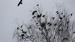 Autumn scene, silhouette of crows flying around nests Stock Footage