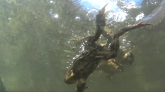 Toads in the water Stock Footage