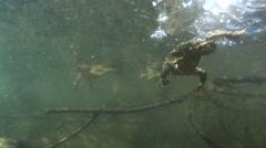 Toad, Bufo bufo,  in the water, swim, jump Stock Footage