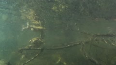 Toads in the water, Stock Footage