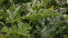 cucumbers on the field - stock footage