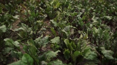 Beetroot on the field Stock Footage