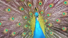 Close-up of a Peafowl Stock Footage