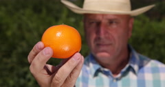 Orchard Farmer Hand Keeping Mandarin Fruit Looking Careful Form and Color Test Stock Footage