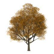 Ash Tree on White Stock Illustration