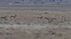 Desert Pronghorns Fighting Stock Footage