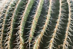 Echinocactus grusonii cactus - stock photo