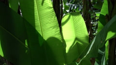 Stock Video Footage of Phuket tropic foliage.