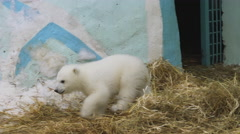 A polar bear family walk in zoo in a winter Stock Footage