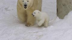 A polar bear cub runs near she-bear in zoo in a winter Stock Footage