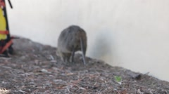 Quokka hopping away to inquire backpack - stock footage