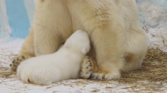 A polar she-bear sits and feeds her cub in a zoo Stock Footage