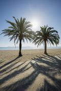 Beach with palm trees Can Picafort Alcudia Bay Majorca Balearic Islands Spain - stock photo