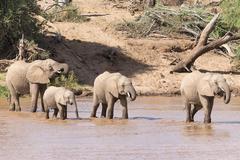African elephants Loxodonta africana herd of elephants crossing the river - stock photo